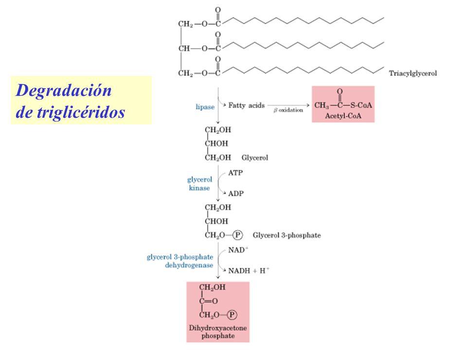 Degradación de triglicéridos