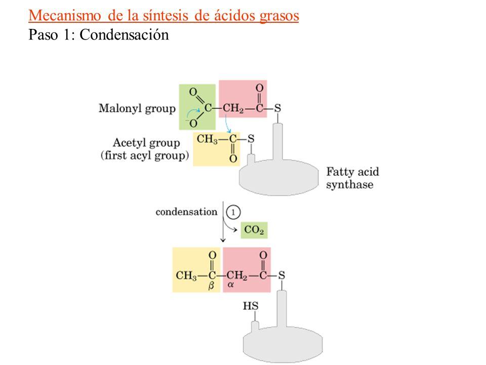 Mecanismo de la síntesis de ácidos grasos
