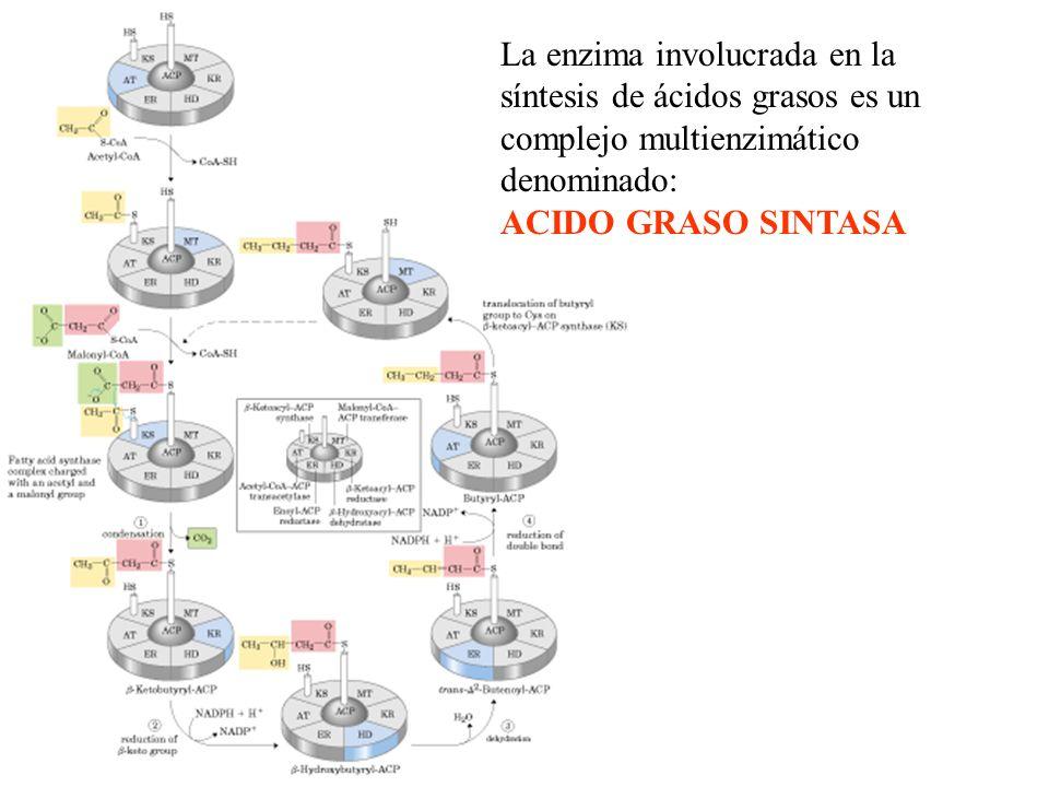 La enzima involucrada en la síntesis de ácidos grasos es un complejo multienzimático denominado: