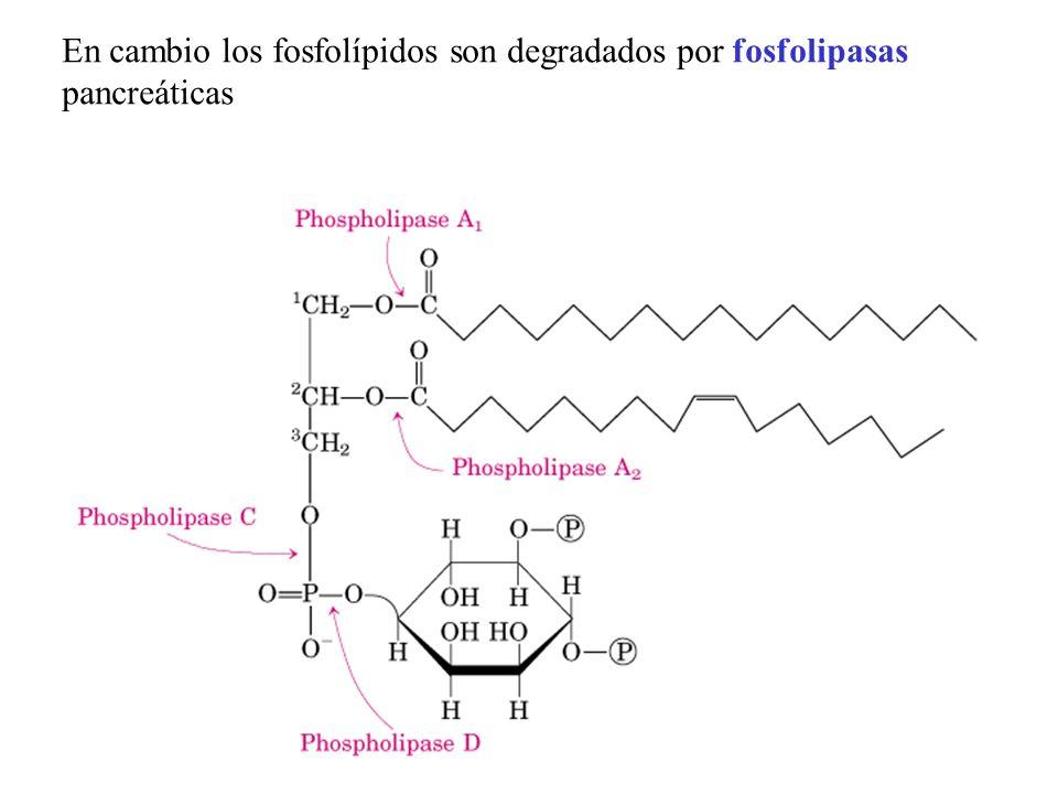 En cambio los fosfolípidos son degradados por fosfolipasas pancreáticas