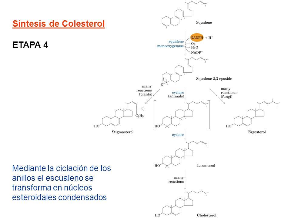 Síntesis de Colesterol ETAPA 4