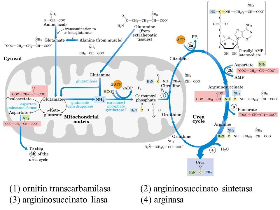 (1) ornitin transcarbamilasa (2) argininosuccinato sintetasa