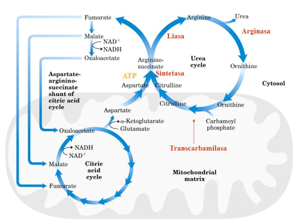 Arginasa Liasa Sintetasa ATP Transcarbamilasa