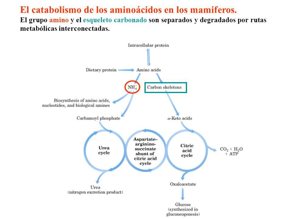 El catabolismo de los aminoácidos en los mamiferos.