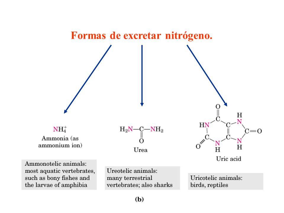 Formas de excretar nitrógeno.