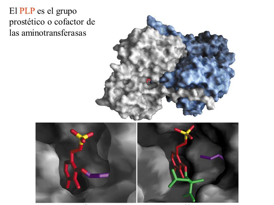 El PLP es el grupo prostético o cofactor de las aminotransferasas