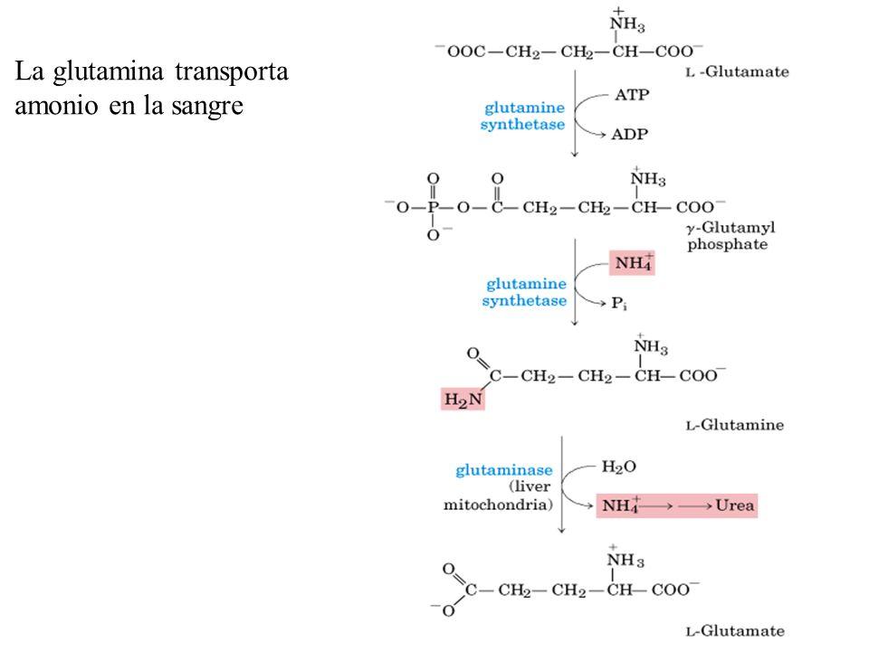 La glutamina transporta amonio en la sangre