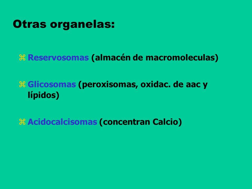 Otras organelas: Reservosomas (almacén de macromoleculas)