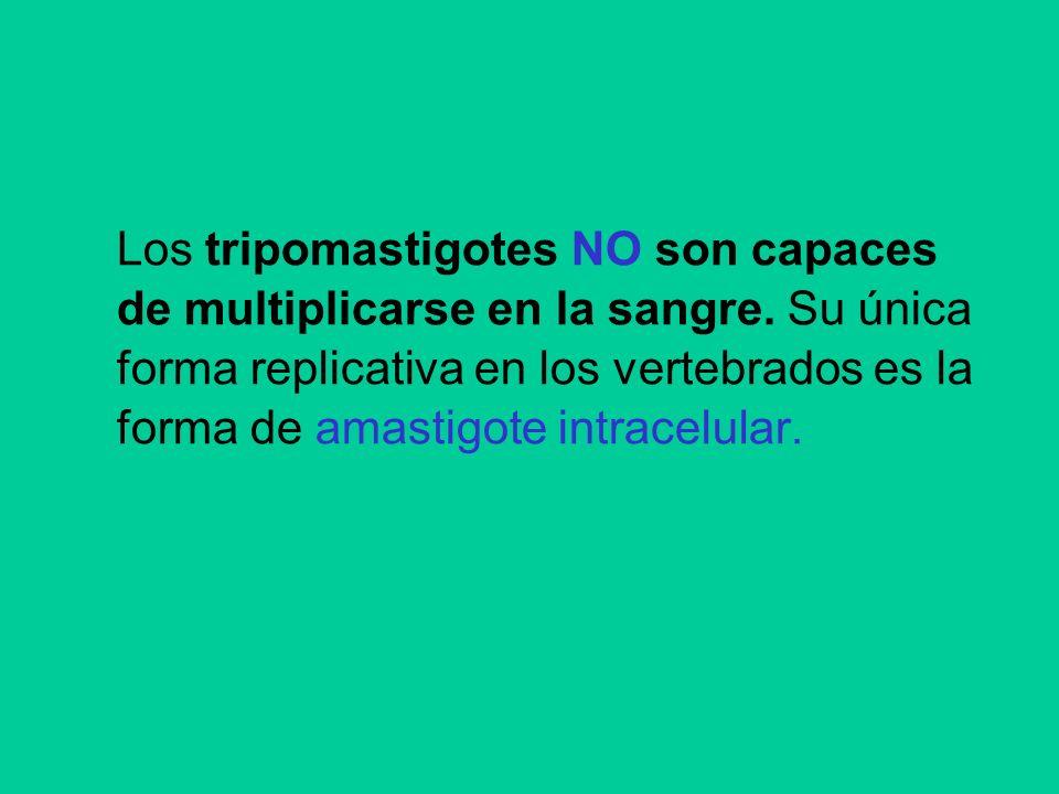 Los tripomastigotes NO son capaces de multiplicarse en la sangre