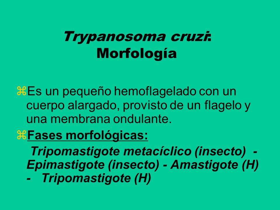 Trypanosoma cruzi: Morfología