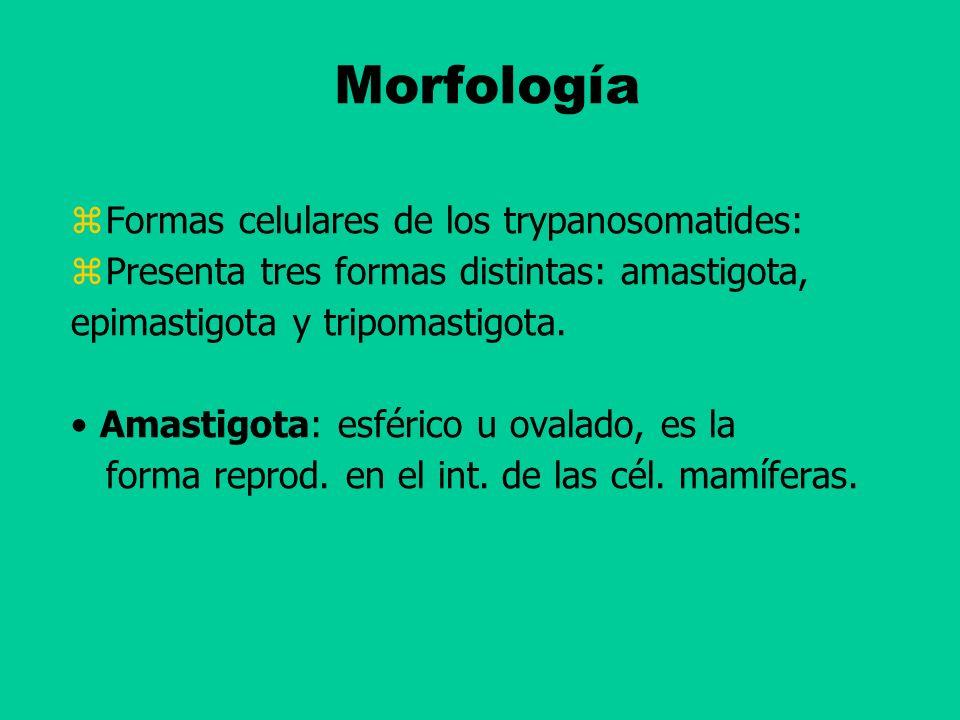 Morfología Formas celulares de los trypanosomatides: