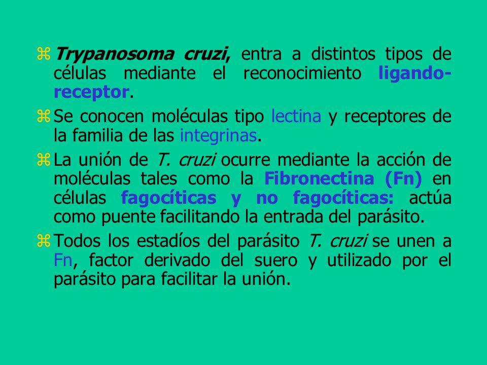 Trypanosoma cruzi, entra a distintos tipos de células mediante el reconocimiento ligando- receptor.