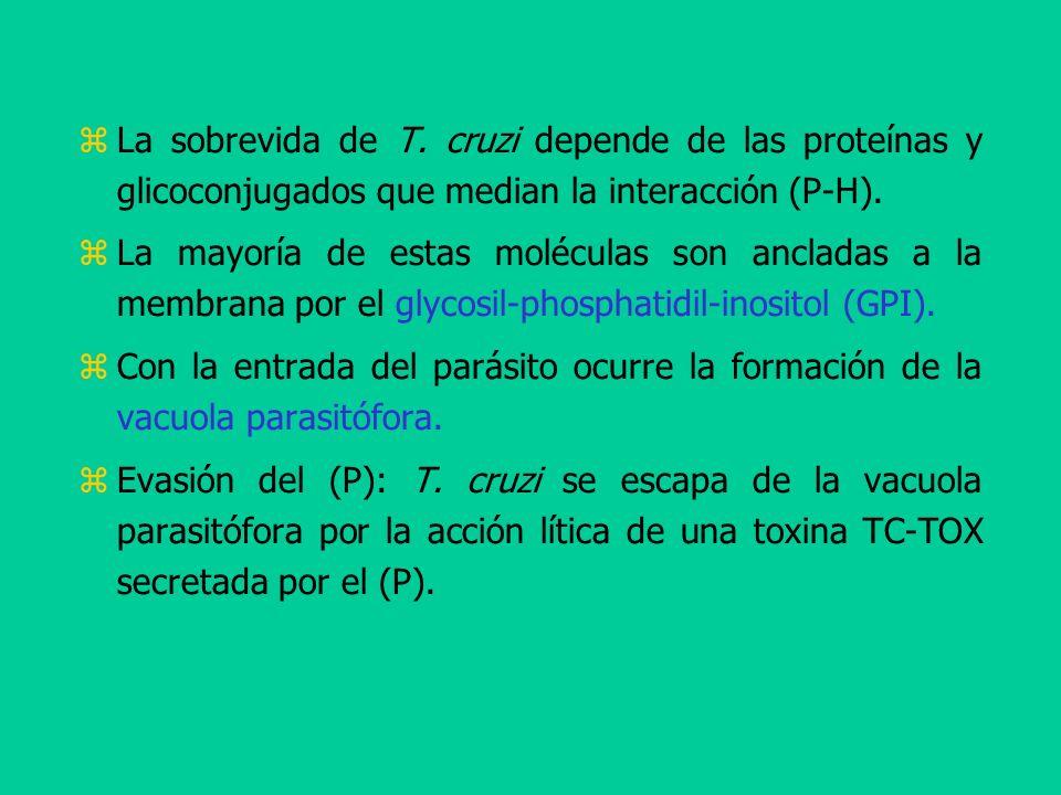 La sobrevida de T. cruzi depende de las proteínas y glicoconjugados que median la interacción (P-H).