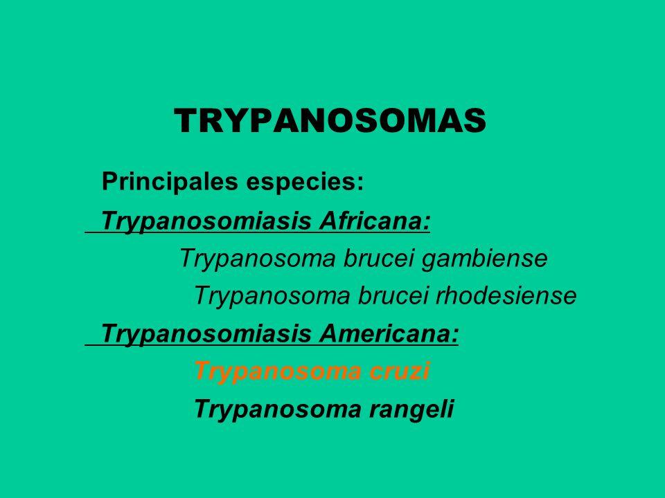 TRYPANOSOMAS Principales especies: Trypanosomiasis Africana:
