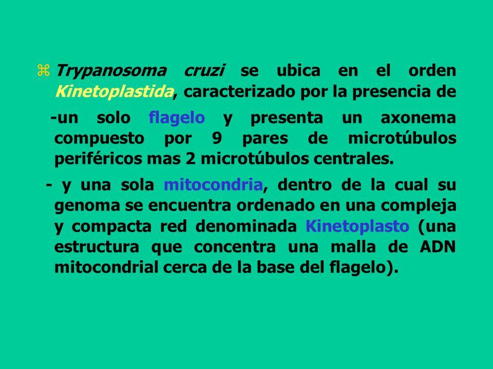 Trypanosoma cruzi se ubica en el orden Kinetoplastida, caracterizado por la presencia de