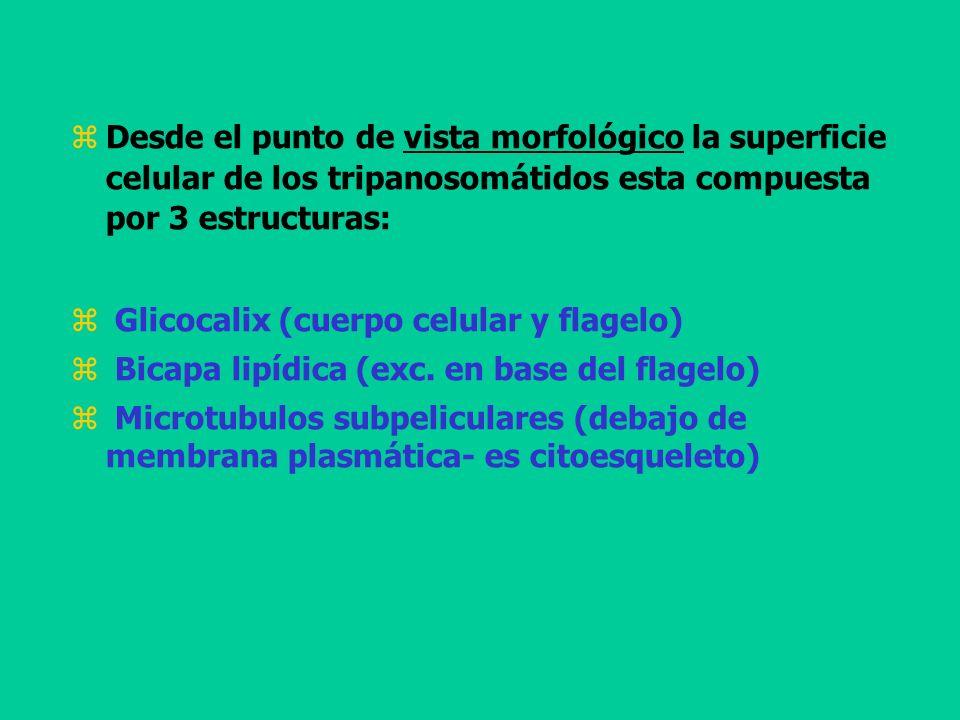 Desde el punto de vista morfológico la superficie celular de los tripanosomátidos esta compuesta por 3 estructuras: