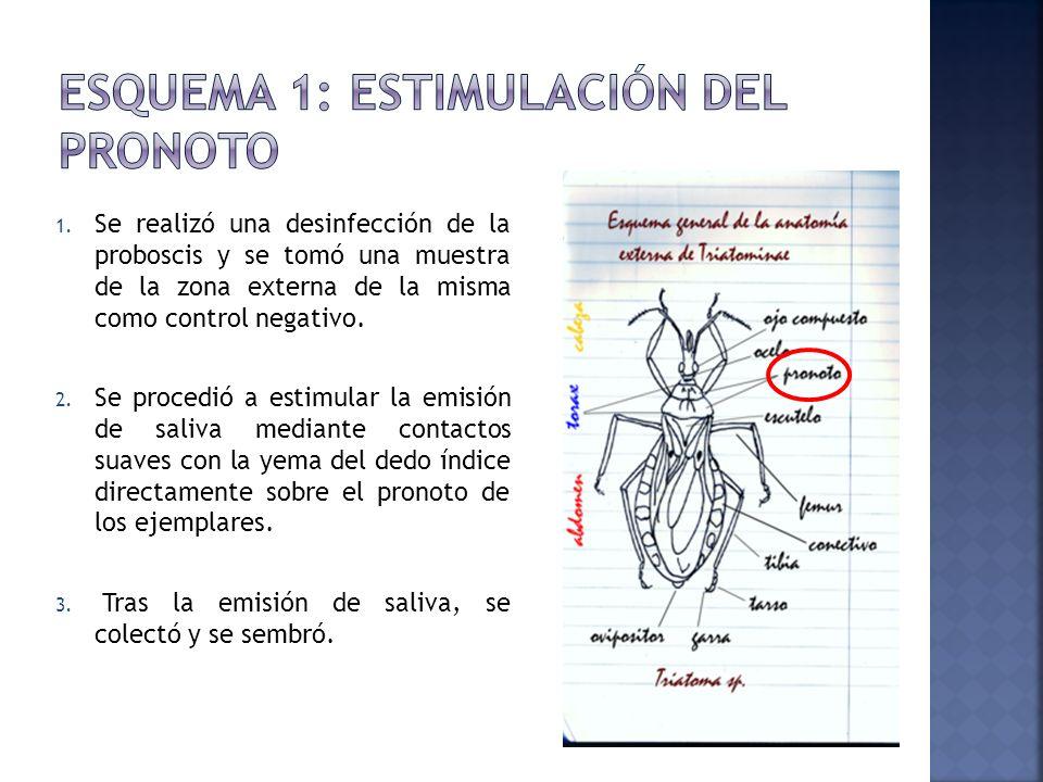 Esquema 1: Estimulación del Pronoto
