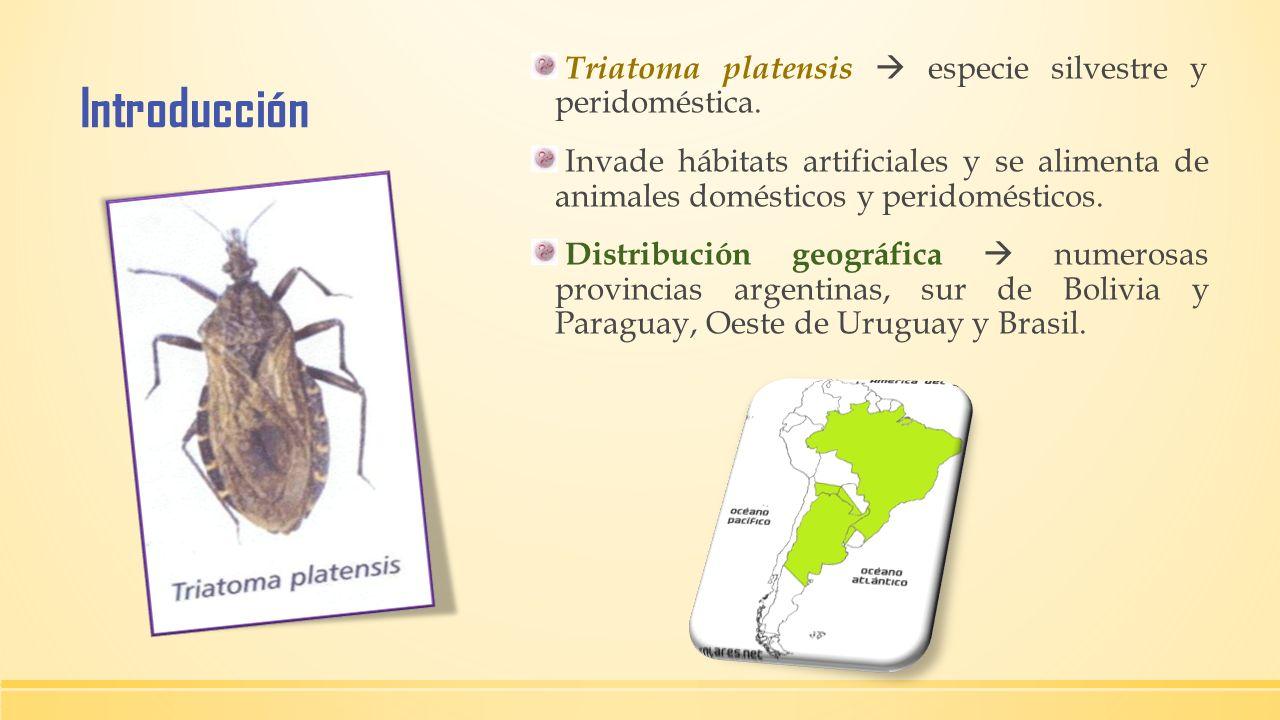 Introducción Triatoma platensis  especie silvestre y peridoméstica.