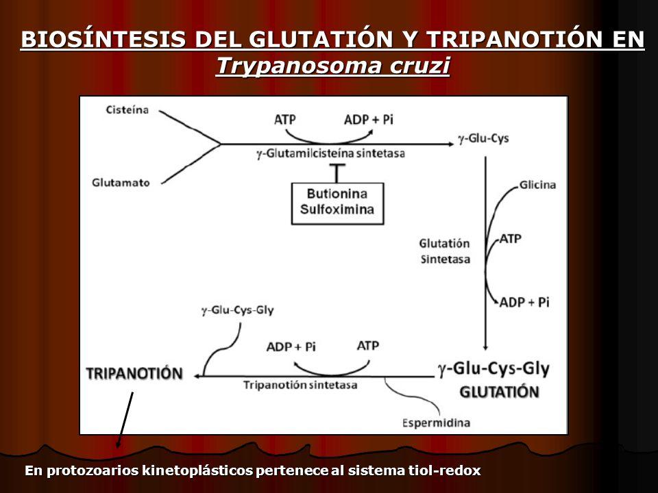 BIOSÍNTESIS DEL GLUTATIÓN Y TRIPANOTIÓN EN Trypanosoma cruzi