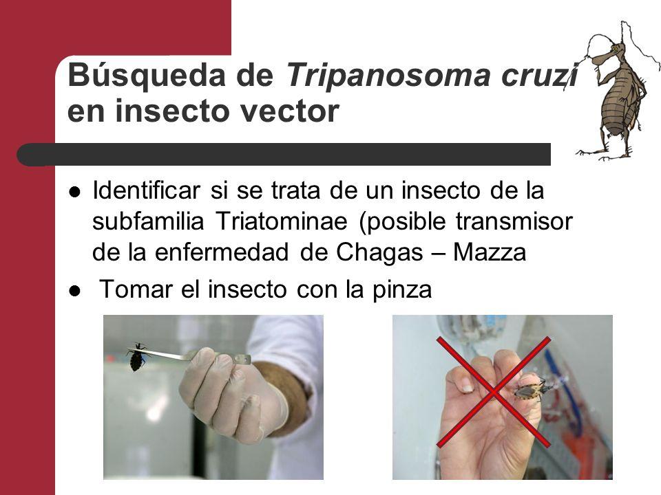 Búsqueda de Tripanosoma cruzi en insecto vector