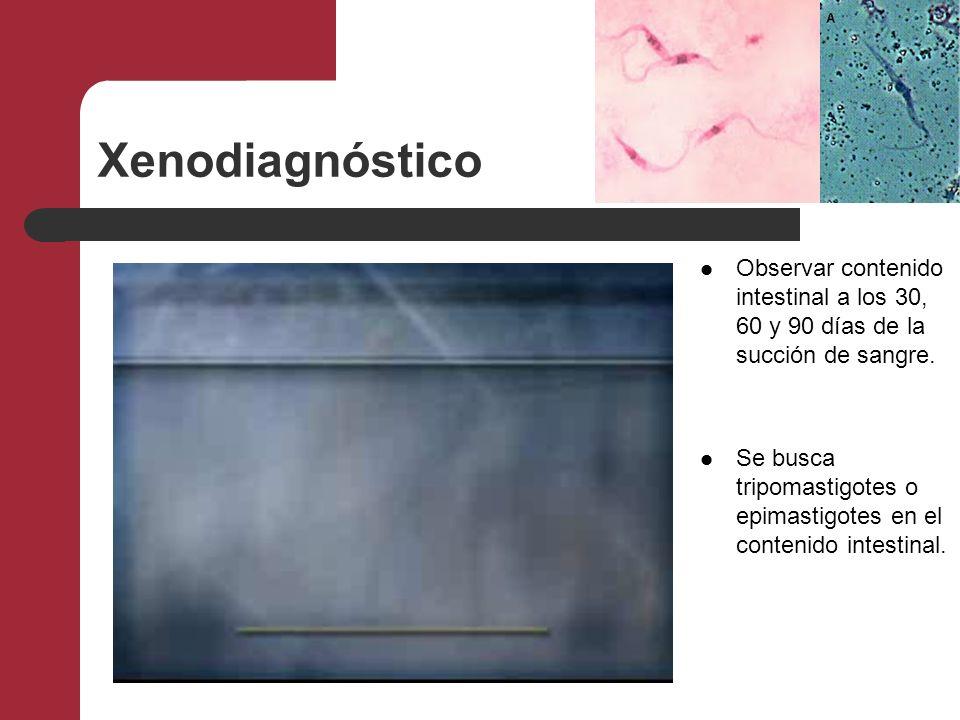 Xenodiagnóstico Observar contenido intestinal a los 30, 60 y 90 días de la succión de sangre.