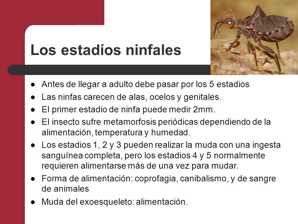 Los estadíos ninfales Antes de llegar a adulto debe pasar por los 5 estadios. Las ninfas carecen de alas, ocelos y genitales.