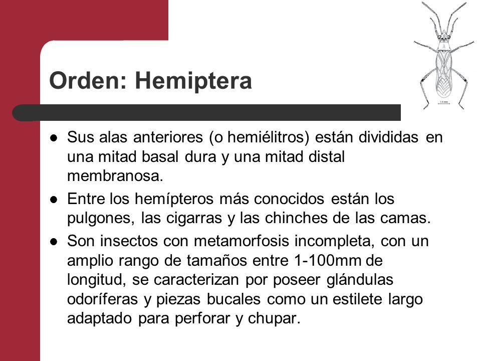 Orden: Hemiptera Sus alas anteriores (o hemiélitros) están divididas en una mitad basal dura y una mitad distal membranosa.