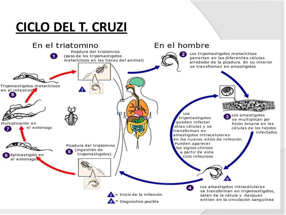 CICLO DEL T. CRUZI