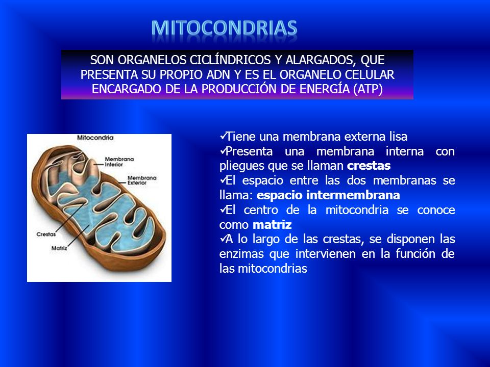 Mitocondrias SON ORGANELOS CICLÍNDRICOS Y ALARGADOS, QUE PRESENTA SU PROPIO ADN Y ES EL ORGANELO CELULAR ENCARGADO DE LA PRODUCCIÓN DE ENERGÍA (ATP)