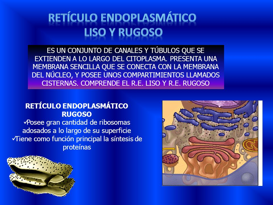 Retículo endoplasmático RETÍCULO ENDOPLASMÁTICO