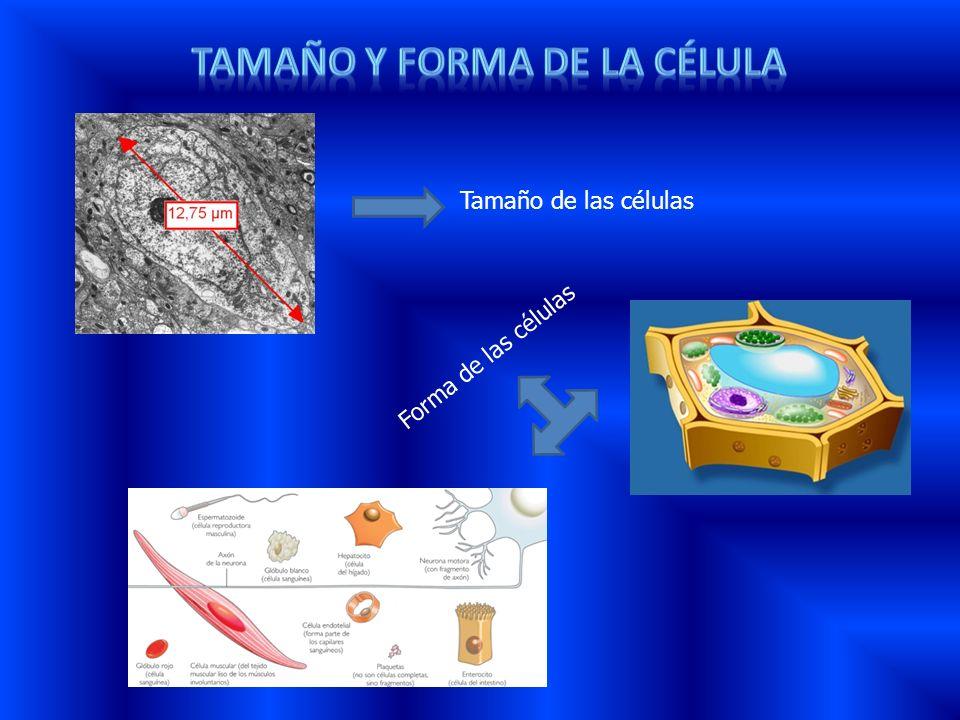 TAMAÑO Y FORMA DE LA CÉLULA