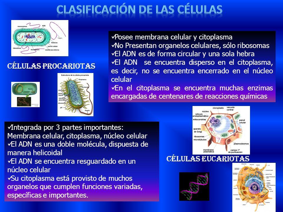 CLASIFICACIÓN DE LAS CÉLULAS