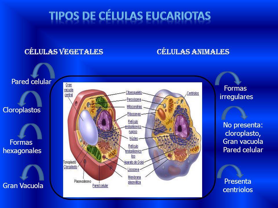 Tipos de células eucariotas