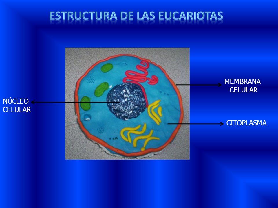 ESTRUCTURA DE LAS eucariotas