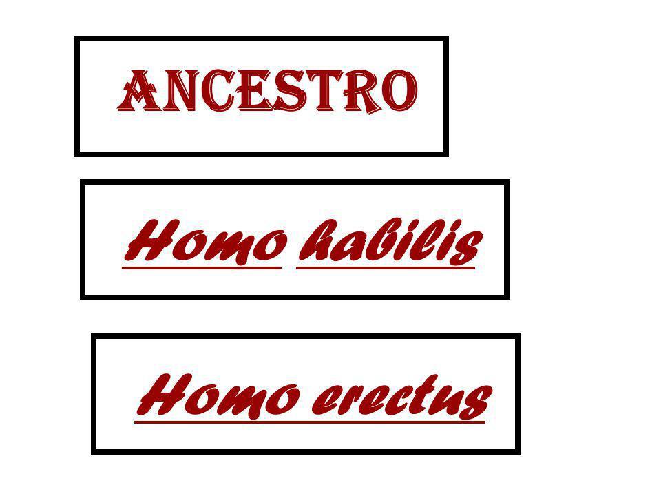 ancestro Homo habilis Homo erectus