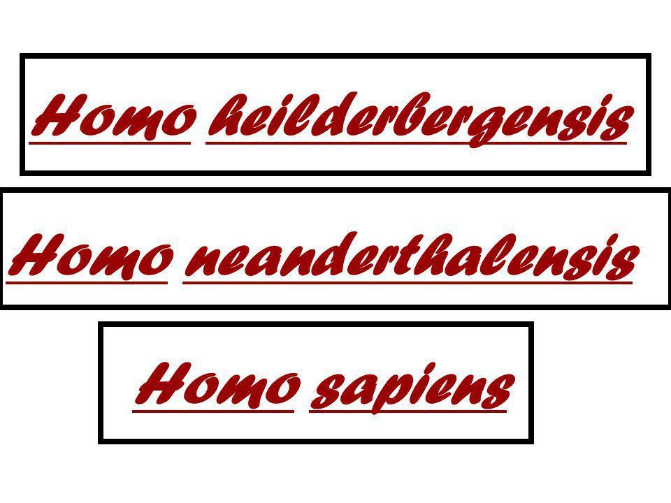 Homo heilderbergensis Homo neanderthalensis