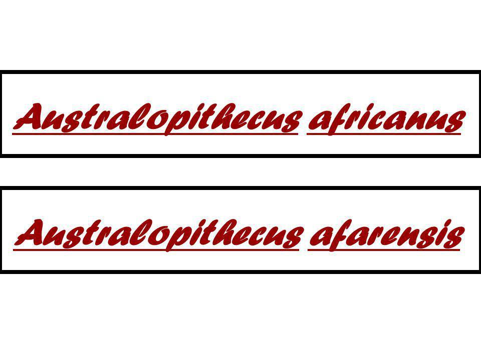 Australopithecus africanus Australopithecus afarensis