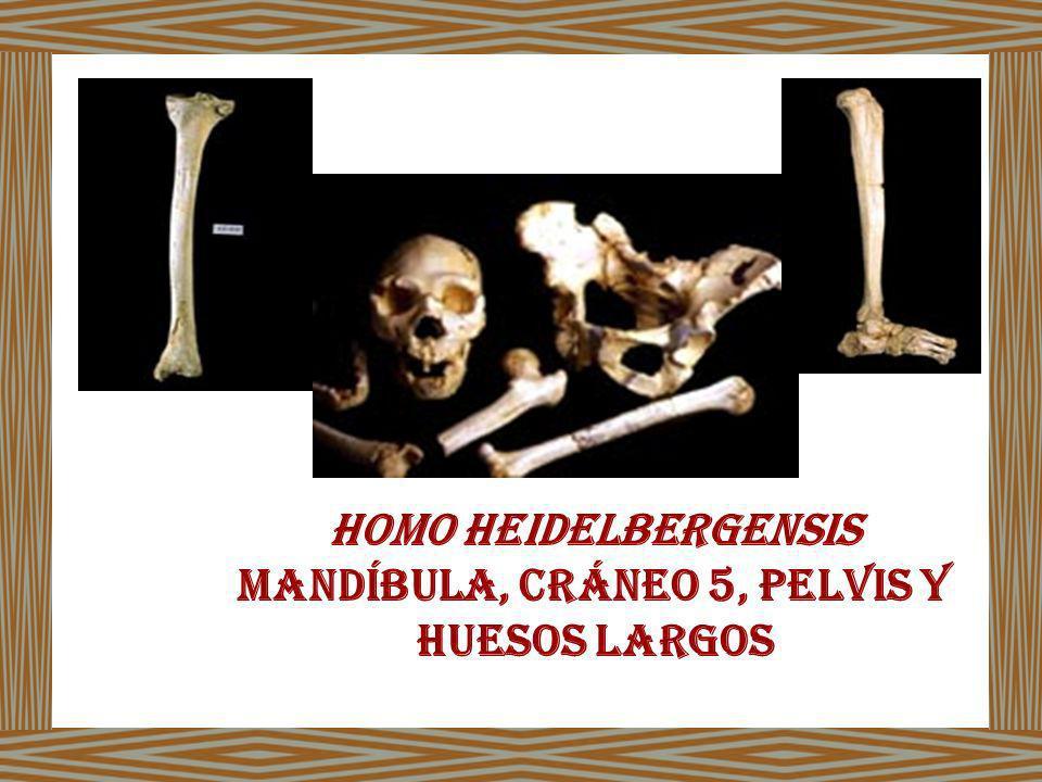Mandíbula, Cráneo 5, pelvis y huesos largos