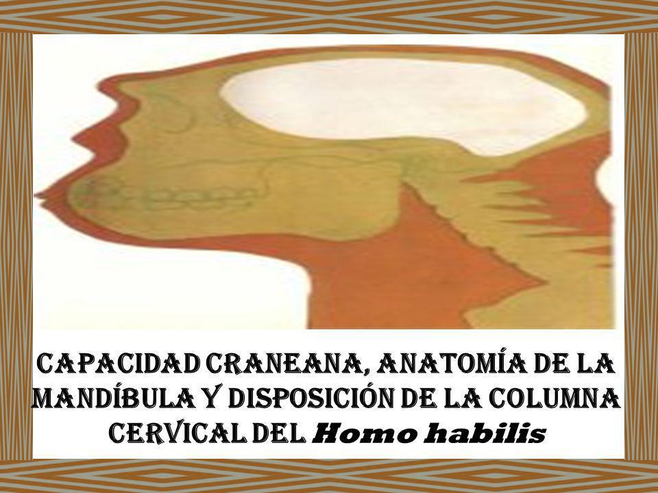 Capacidad Craneana, Anatomía de la Mandíbula y Disposición de la Columna Cervical del Homo habilis