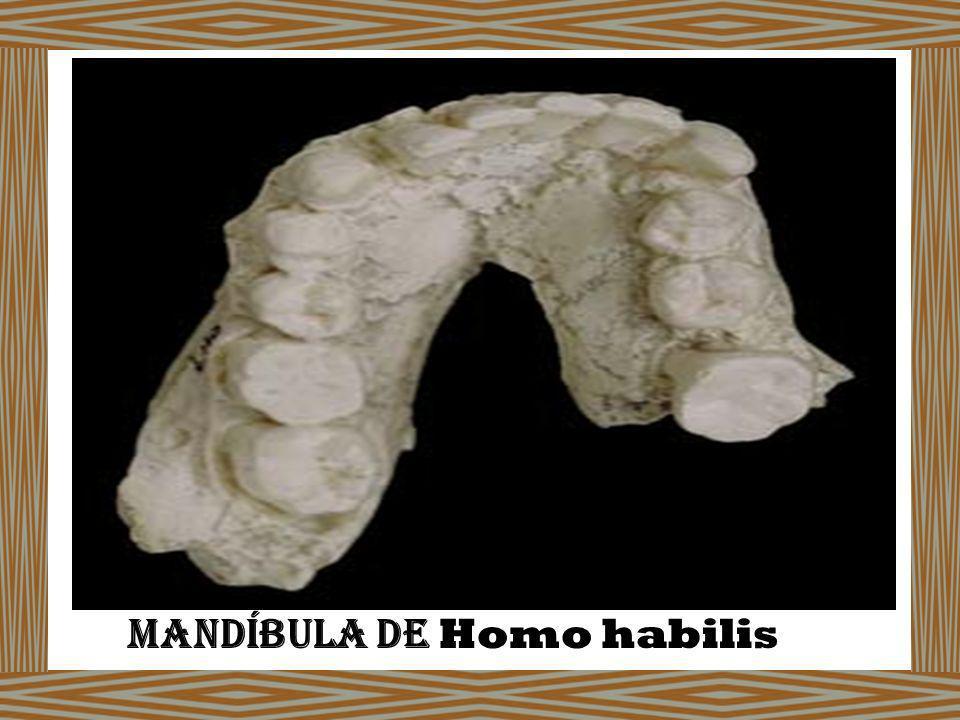 Mandíbula de Homo habilis