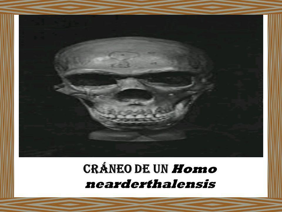 Cráneo de un Homo nearderthalensis