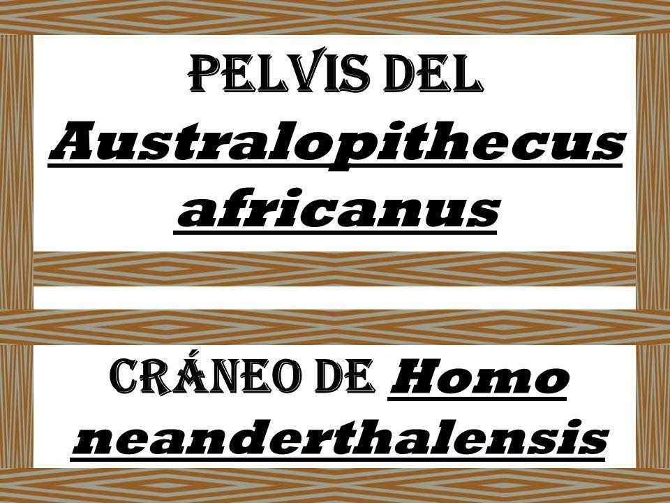 Pelvis deL Australopithecus africanus Cráneo de Homo neanderthalensis