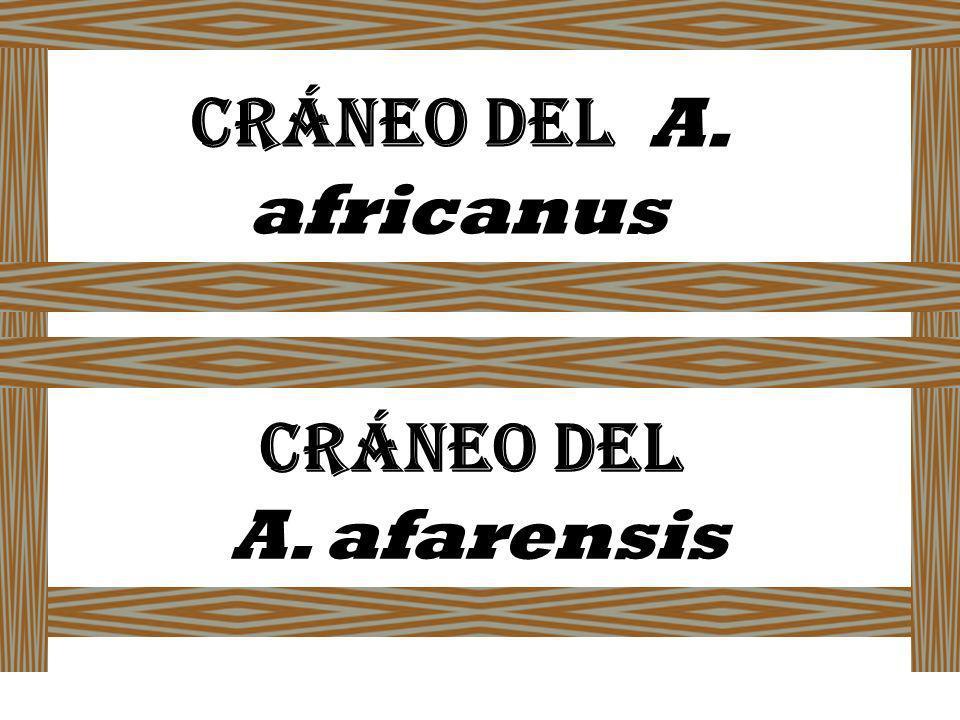 Cráneo del A. africanus Cráneo del A. afarensis