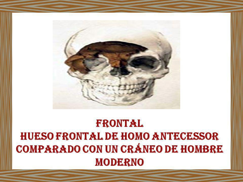 Frontal Hueso frontal de Homo antecessor comparado con un cráneo de hombre moderno