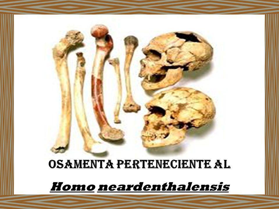 Osamenta Perteneciente al Homo neardenthalensis