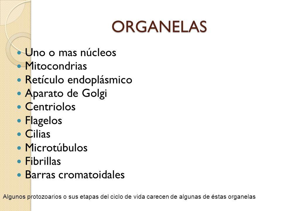 ORGANELAS Uno o mas núcleos Mitocondrias Retículo endoplásmico