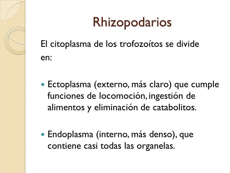 Rhizopodarios El citoplasma de los trofozoítos se divide en: