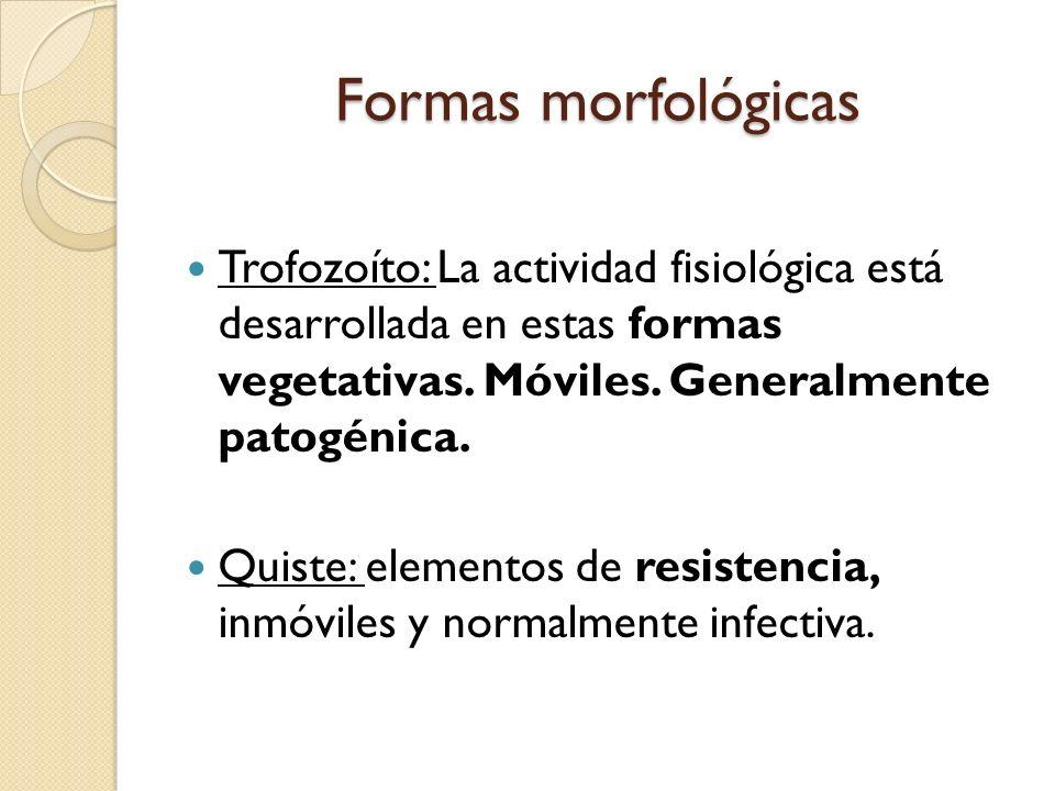 Formas morfológicas Trofozoíto: La actividad fisiológica está desarrollada en estas formas vegetativas. Móviles. Generalmente patogénica.