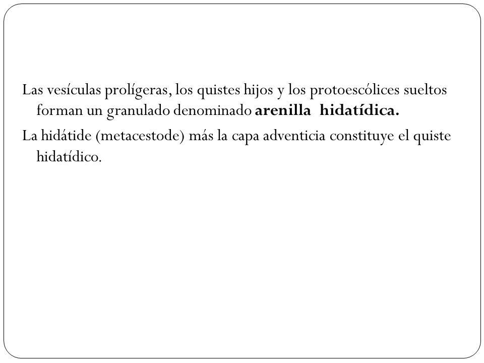 Las vesículas prolígeras, los quistes hijos y los protoescólices sueltos forman un granulado denominado arenilla hidatídica.