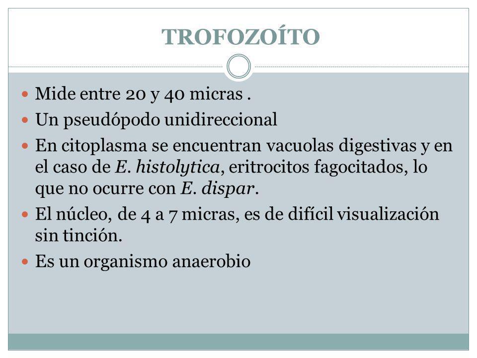 TROFOZOÍTO Mide entre 20 y 40 micras . Un pseudópodo unidireccional